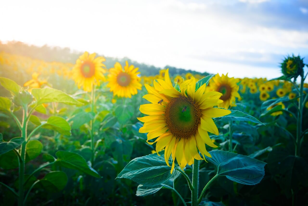 sunflower hill in Dalat Vietnam