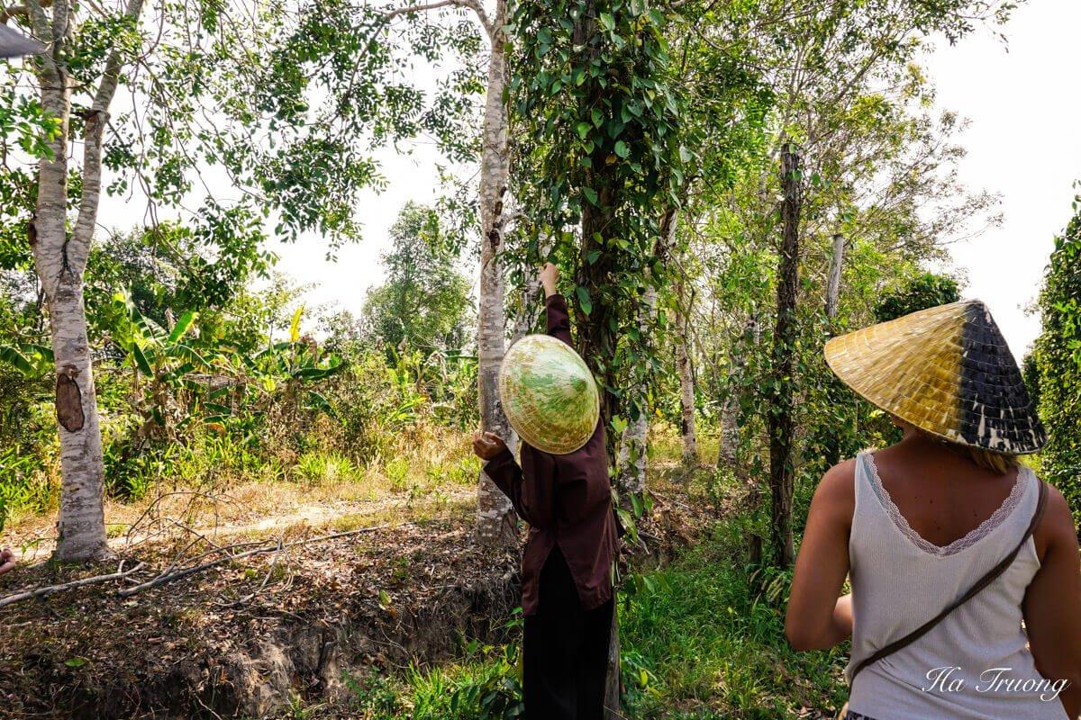 Phu Quoc Pepper farm