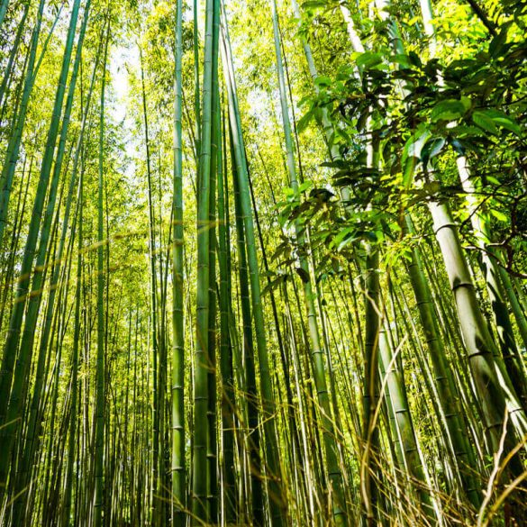 Sagano Arashiyama Bamboo Forest Kyoto Japan