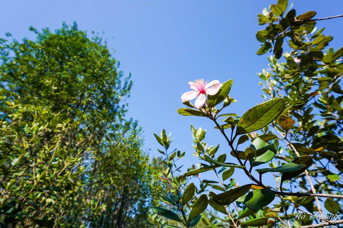Phu Quoc sim wine flower