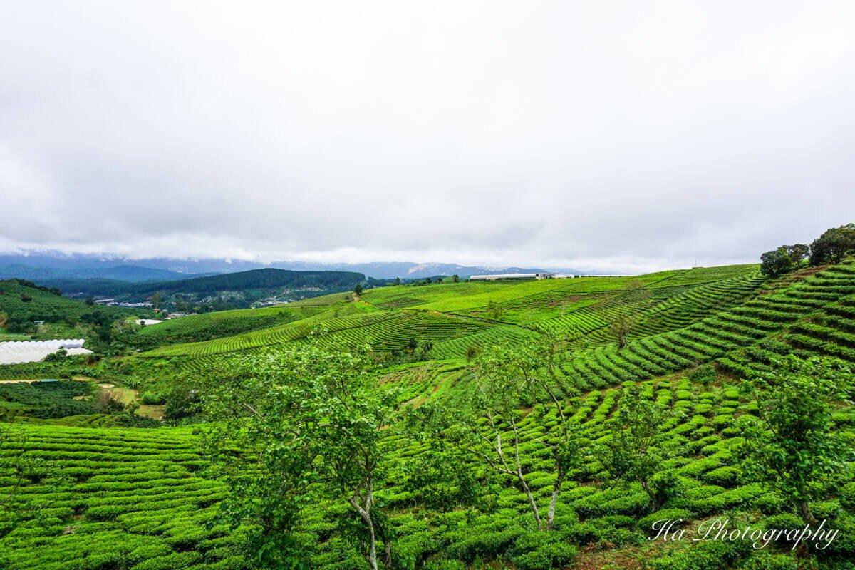 Cau Dat tea hill Da Lat Vietnam