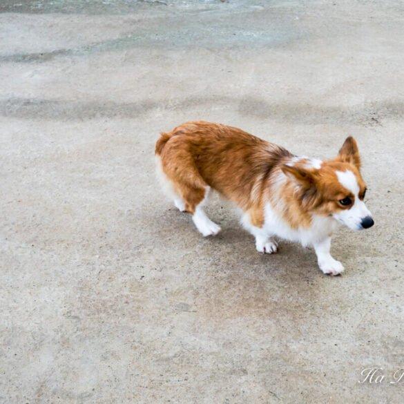corgi puppy farm Da Lat Vietnam