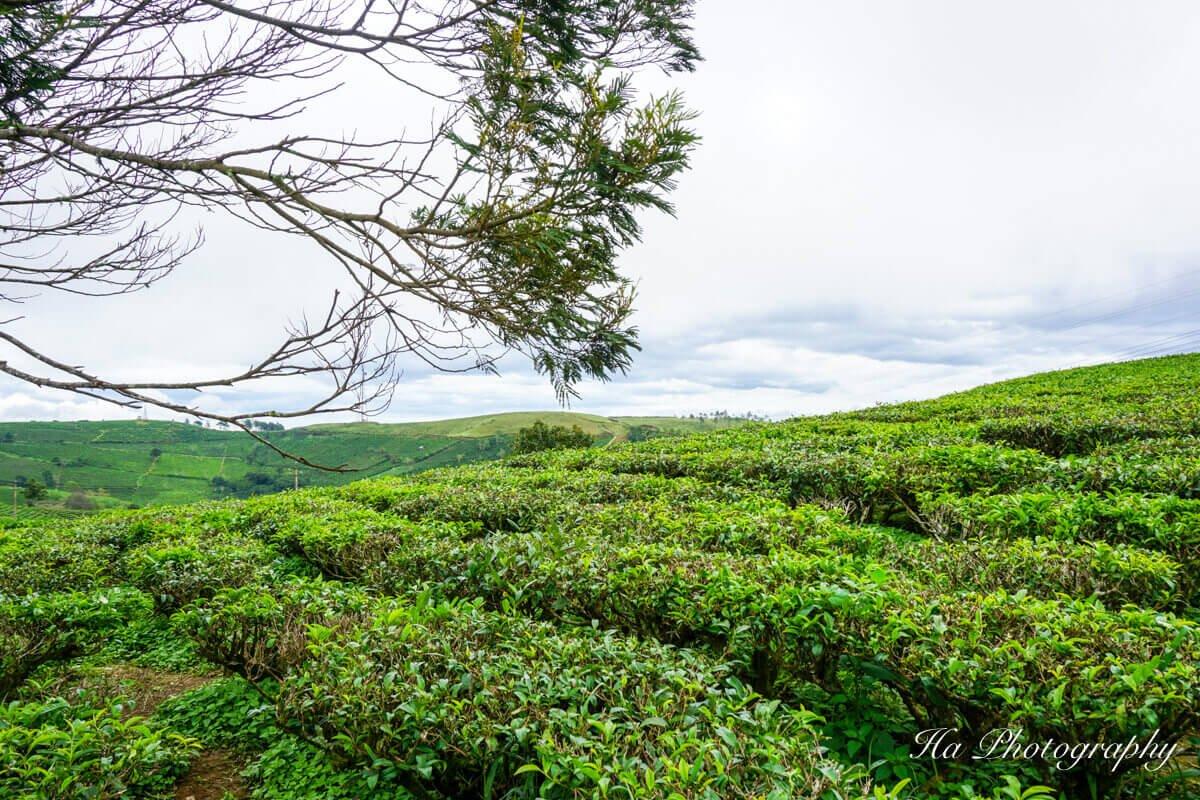 Cau Dat tea farm Da Lat Vietnam