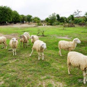 An Hoa sheep field Phan Rang Ninh Thuan Vietnam