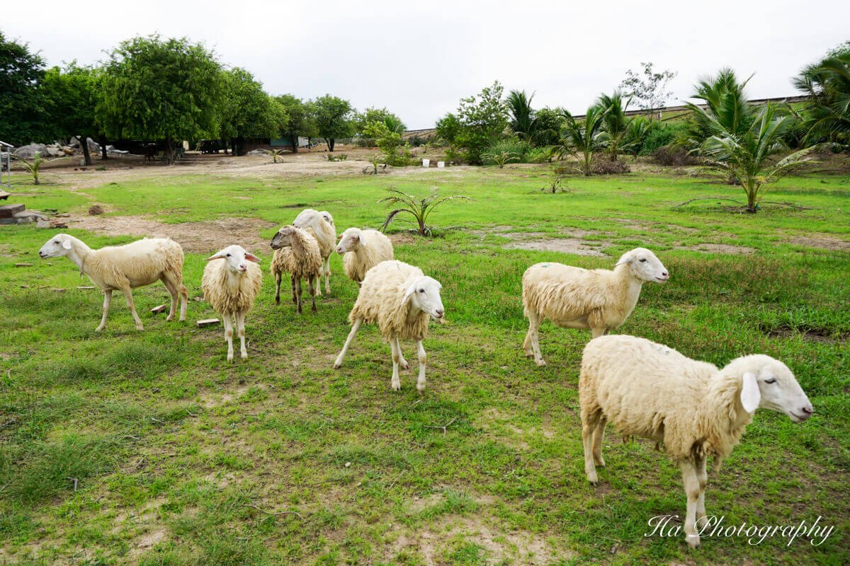 An Hoa sheep field Ninh Thuan Vietnam