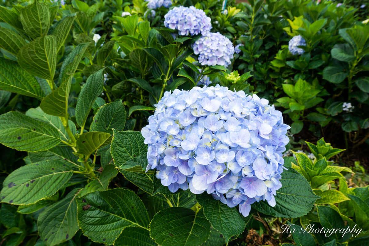 Hydrangea garden Da Lat Vietnam