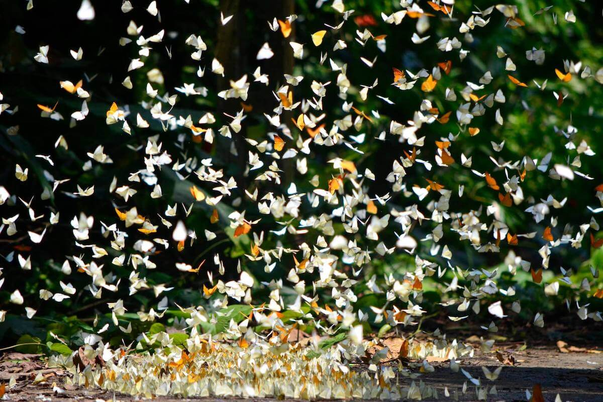 Cuc Phuong Park Vietnam butterfly season.