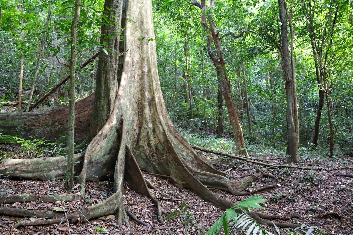 Cuc Phuong Park Vietnam tree.