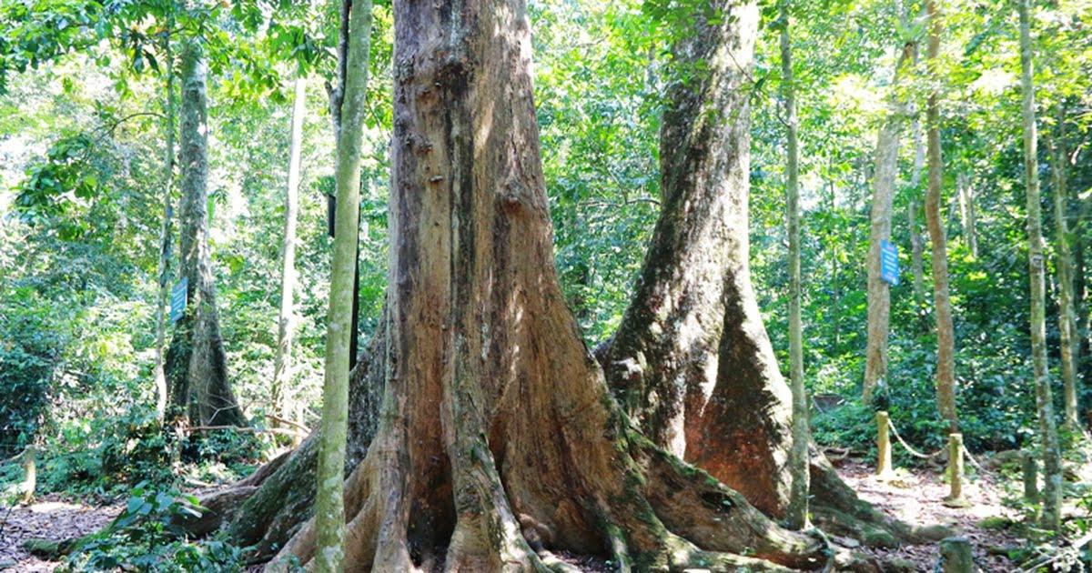 Cho tree Cuc Phuong park Vietnam.
