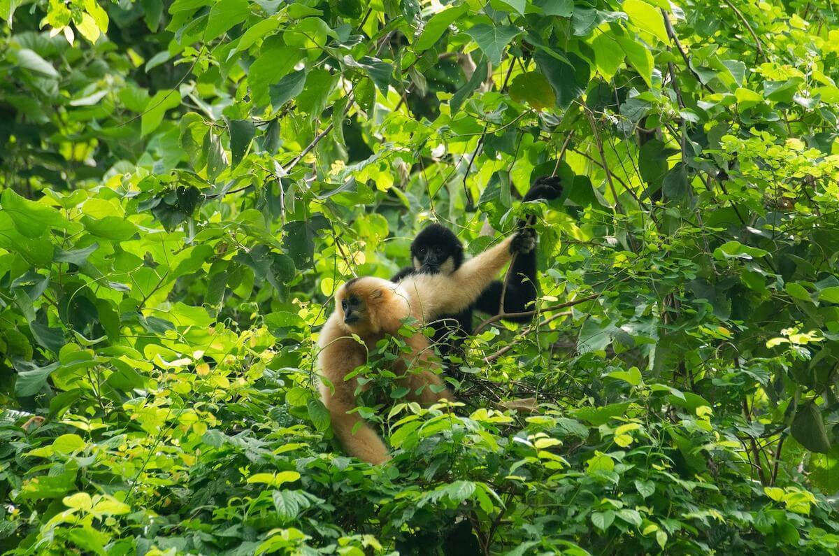 langur in Cuc Phuong park.