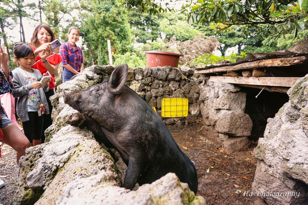Jeju black pig Korea.